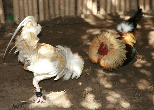 Prediksi Pemenang Judi Sabung Ayam S1288